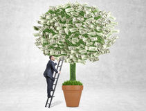 Business growth concept money tree. Business growth concept with businessman climbing dollar banknote tree on concrete background Royalty Free Stock Photos