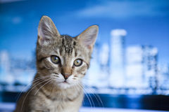 Business Kitty Royalty Free Stock Images