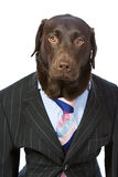 Business Labrador in Suit Stock Photo