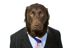 Business Labrador in Suit Stock Photos