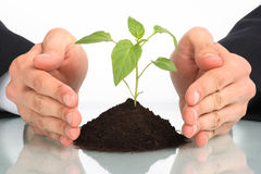 Business men  plant between hands Stock Photography