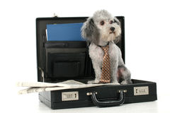 Business Poodle Stock Images