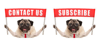 Business pug dog holding up red banner sign with text contact us and subscribe Stock Image