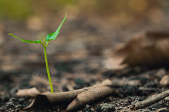 Business startup concept. Green plant sprout growing on fertilize soil in the forest, business startup concept Royalty Free Stock Photography