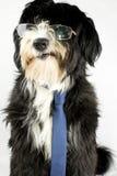 Businessdog Fotografering för Bildbyråer