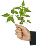 Businessman banker politician grasps nettle, idiom. Man in suit clutches stinging nettle - common metaphor for taking tough (but neessary) decisions.  White Stock Photo