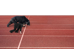 Businessman and bear are ready to race on running track Royalty Free Stock Images