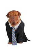 Businessman dog Royalty Free Stock Photography