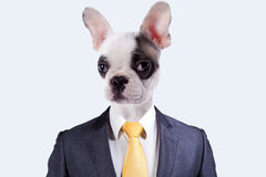 Businessman with a dog face. Businessman with a Boston Terrier dog face stock photography