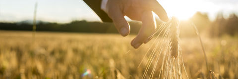 Businessman or environmentalist reaching down with his finger ge. Businessman reaching down with his finger touching an ear of golden wheat in a wheat field at Royalty Free Stock Photo