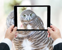 Businessman Hands Tablet Taking Pictures Close Up Of An Owl Stock Photos