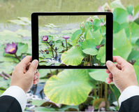 Businessman hands tablet taking pictures Pink lotus flower on th Stock Photo