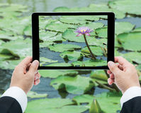 Businessman hands tablet taking pictures Pink lotus flower on th Royalty Free Stock Photos