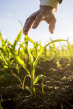 Businessman holding his hand above a young maize plant. Growing in an agricultural field backlit by the warm glow of the morning sun Stock Images