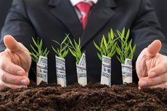 Businessman protecting sapling covered with american dollars Stock Images
