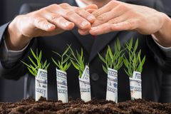 Businessman protecting sapling covered with american dollars Royalty Free Stock Photography