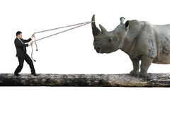 Businessman pulling rope against rhinoceros balancing on tree tr Royalty Free Stock Image