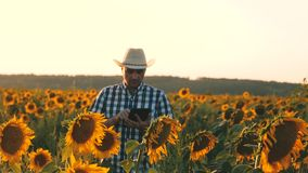 Businessman with tablet examines his field with sunflowers. agricultural business concept. farmer walks in a flowering. Businessman with tablet examines his stock video