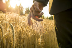 Businessman walking through a golden wheat field reaching down w Royalty Free Stock Images