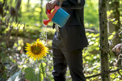Businessman watering a sunflower Royalty Free Stock Photos