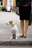 A businesswoman and her dog waiting to cross the road Royalty Free Stock Images