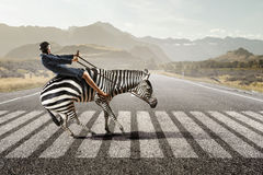 Businesswoman ride zebra . Mixed media. Young pretty fearless woman riding zebra animal Royalty Free Stock Photos