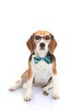 Businnes animale domestico di concetto o addestramento di intelligenza del cane Fotografia Stock Libera da Diritti