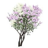 Buskar av blomstra den vita och violetta lilan Royaltyfri Fotografi