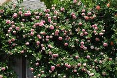 Buskar av rosa rosor som dekorerar huset Arkivbilder