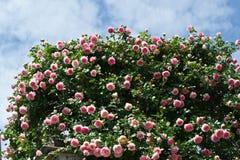 Buskar av rosa rosor som dekorerar huset Arkivbild