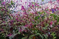 Buskar av växten med gröna och rosa små sidor arkivfoton