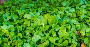Buskar av växter för indisk grönsallat i en trädgård, organiskt arbeta i trädgården och att odla nya grönsaker arkivbild