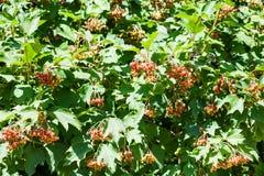 Buskar av Viburnumväxten med röda frukter Royaltyfri Foto