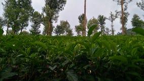 Buskar för grönt te Royaltyfria Foton