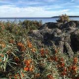 Buskar för havsbuckthorn Arkivbild