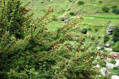 Buskar för lös plommon på lutning för stenigt berg i Garhwal Himalayas Royaltyfri Foto