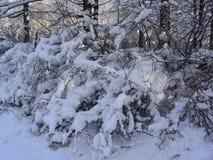 Buskar fryser, i behov av solig värme Arkivbild