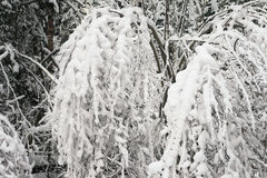 Buskar i snön Royaltyfri Foto