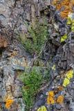 Buskar som växer på kalt, vaggar i bergen av Altai, Ryssland arkivbilder