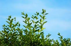 buske Royaltyfria Foton