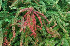 buske Royaltyfri Foto