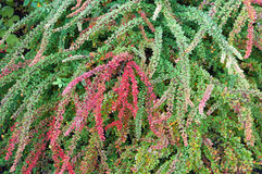 buske Royaltyfria Bilder