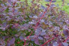 Buske av barberryen efter regn royaltyfri fotografi