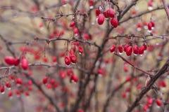 Buske av barberryen med mogna bär fotografering för bildbyråer
