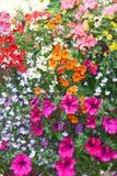 Buske av olika färgpetuniablommor royaltyfri foto