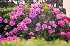 Buske av purpurfärgade och rosa vanlig hortensiablommor arkivbild