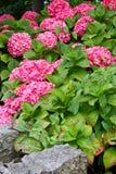 Buske av purpurfärgade och rosa vanlig hortensiablommor royaltyfri bild