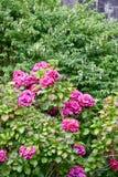 Buske av purpurfärgade vanlig hortensia- och fuchsiablommor royaltyfria foton