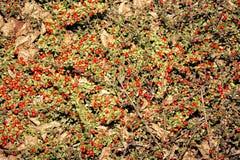Buske av röda frukter Aucuba japonica Royaltyfria Bilder
