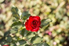 Buske av röda rosor i trädgården royaltyfria bilder